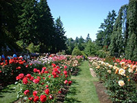 Types of Roses in rows